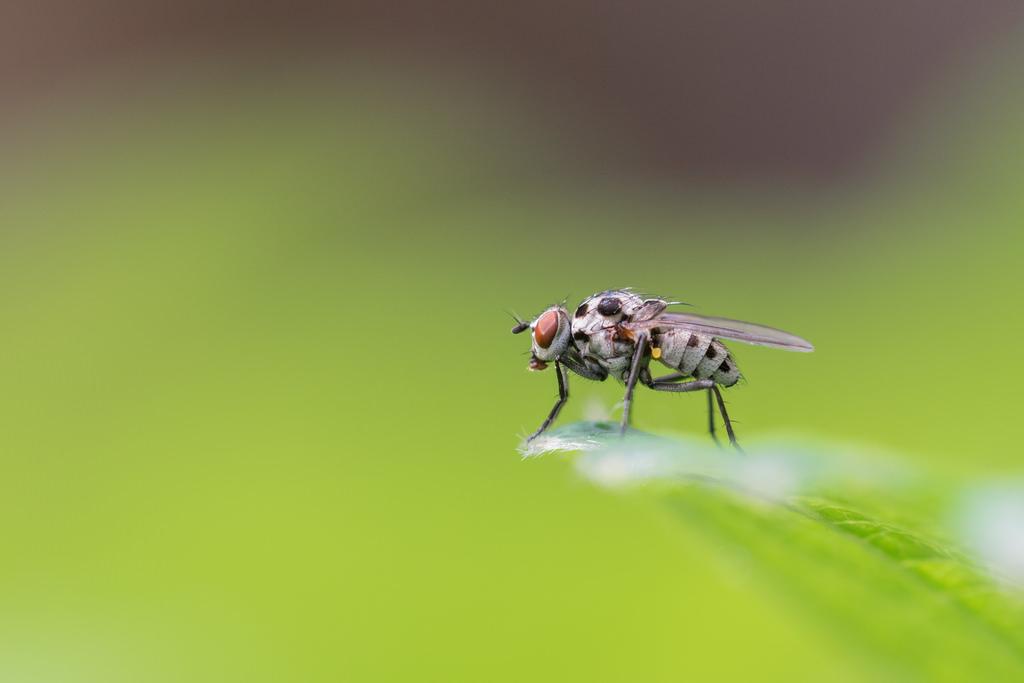 Mouche des pluies / Anthomyia pluvialis