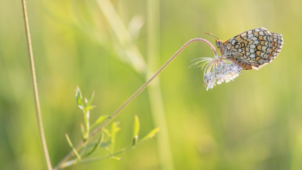 Damier des près / Mellicta parthenoides