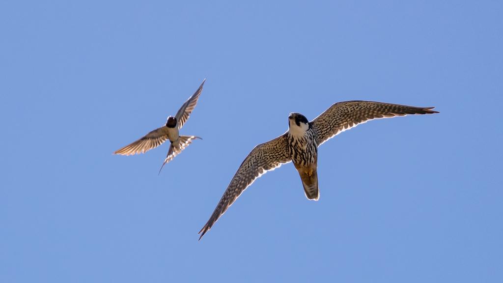 Faucon hobereau / Falco subbuteo