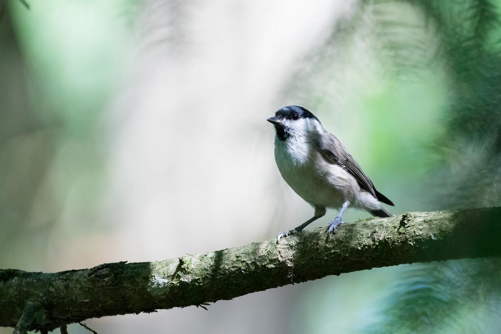 Mésange nonnette / Poecile palustris