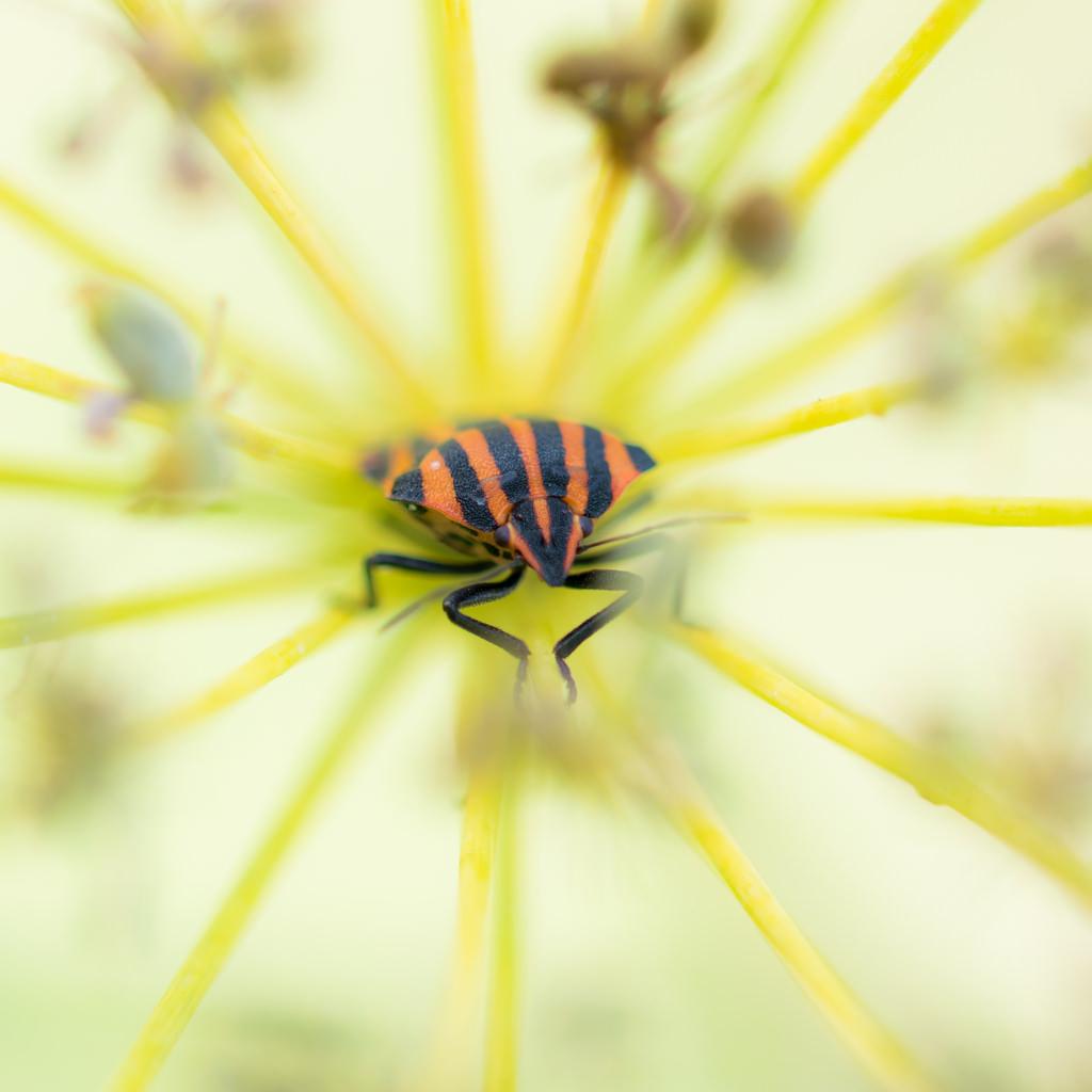 Punaise arlequin / Graphosoma lineatum