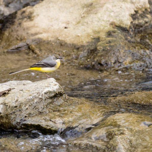 Bergeronnette des ruisseaux / Motacilla cinerea