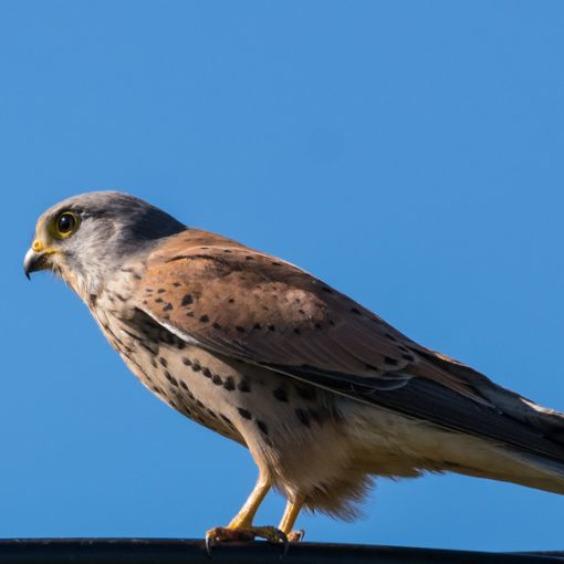 Faucon crécerelle / Falco tinnunculus