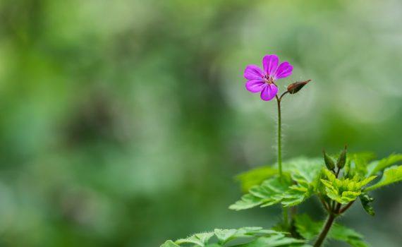 Géranium Herbe à Robbert / Geranium robertianum