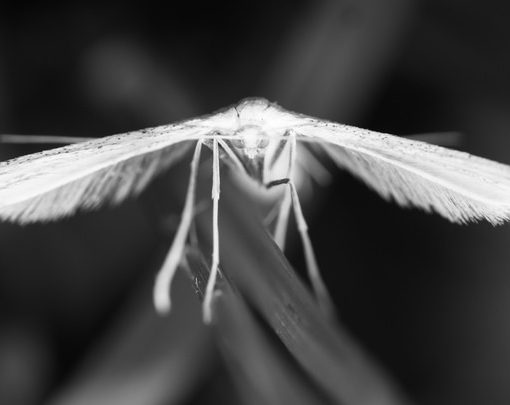 Ptérophore blanc / Pterophorus pentadactyla