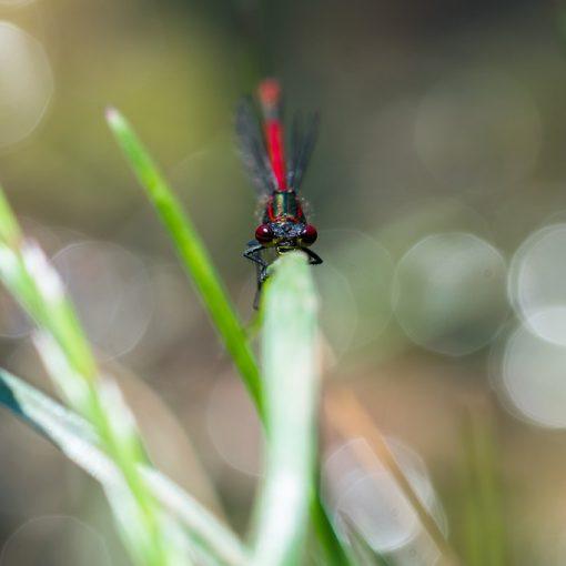 Nymphe au corps de feu / Pyrrhosoma nymphula