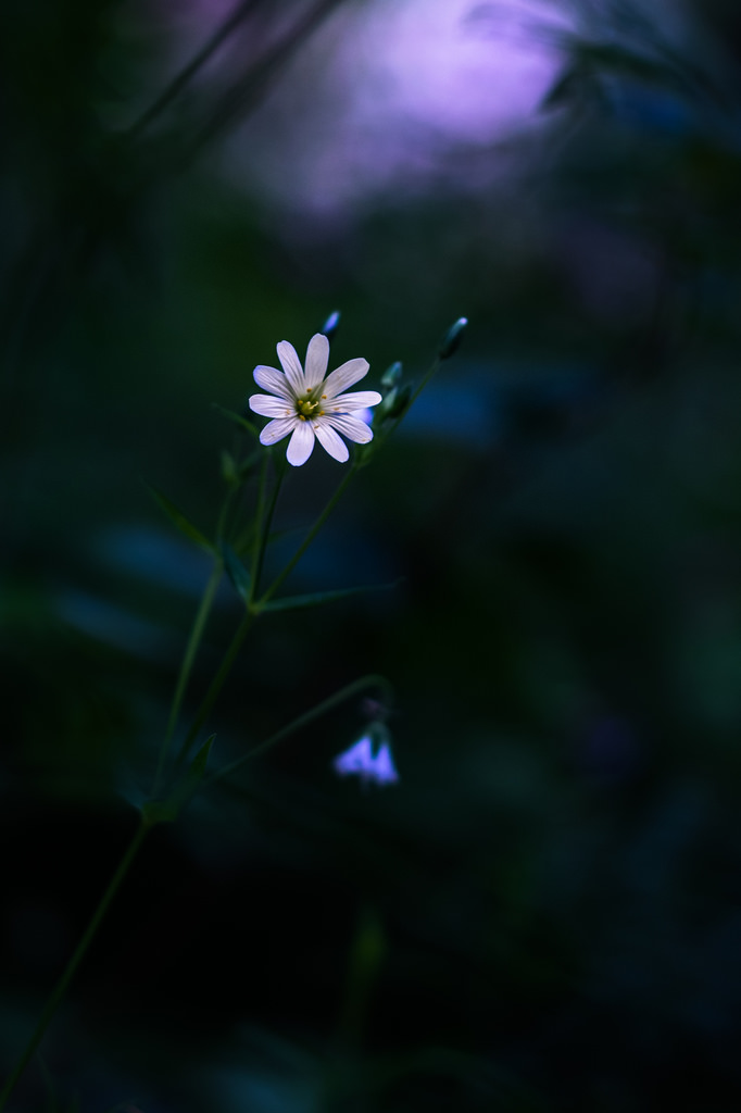 Stellaire / Stellaria holostea