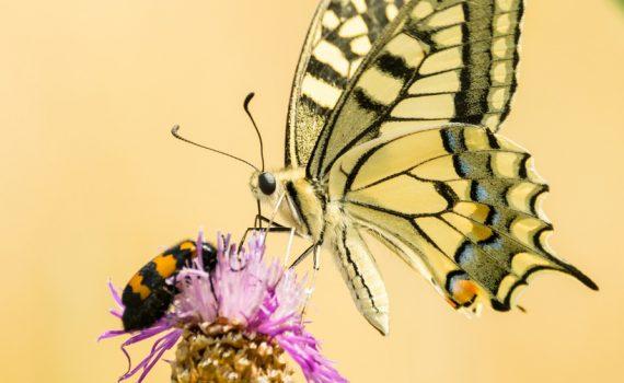 Machaon / Papilio machaon