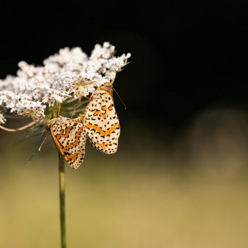 Mélitée orangée / Melitaea didyma