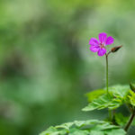 Géranium Herbe à Robert / Geranium roberianum