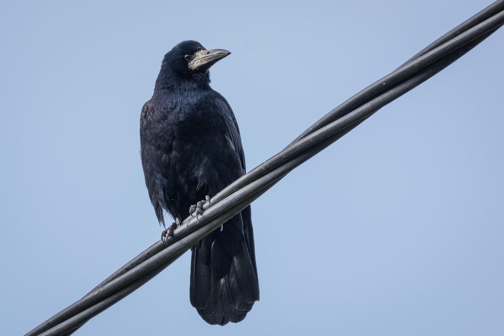 Corbeau freux / Corvus frugilegus