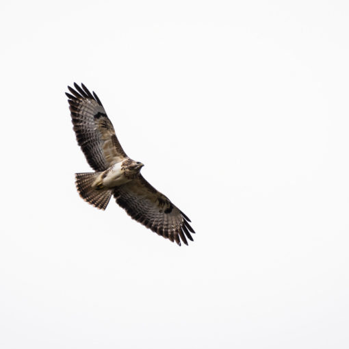 Buse variable / Buteo buteo