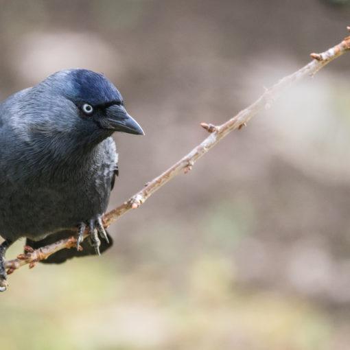 Choucas des tours / Corvus monedula