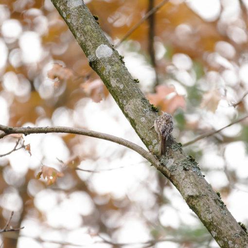 Grimpereau des jardins / Certhia brachydactyla