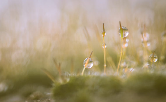 Sporophyte