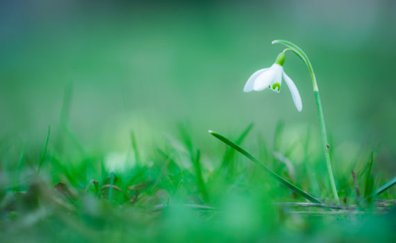 Perce-neige / Galanthus nivalis
