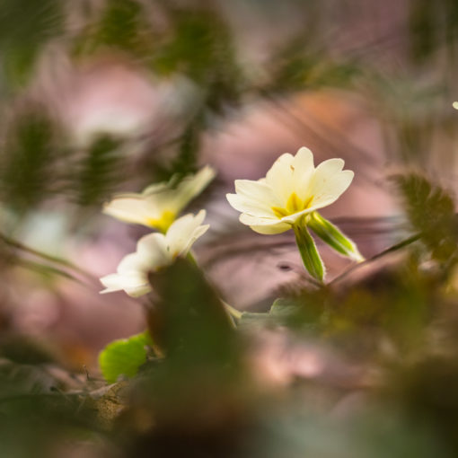 Primevère / Primula vulgaris
