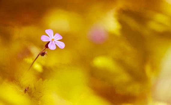Géranium herbe à Robert / Geranium robertianum