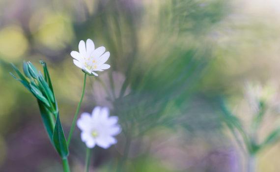Stellaire holostée / Stellaria holostea