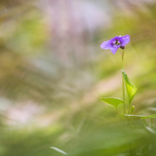 Violette odorante / Viola odorata