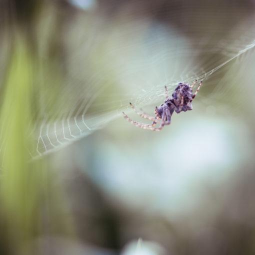 Épeire diadème / Araneus diadematus