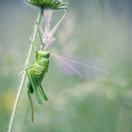 Grande sauterelle verte / Tettigonia viridissima