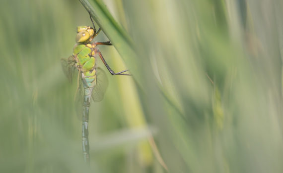 Anax empereur / Anax imperator