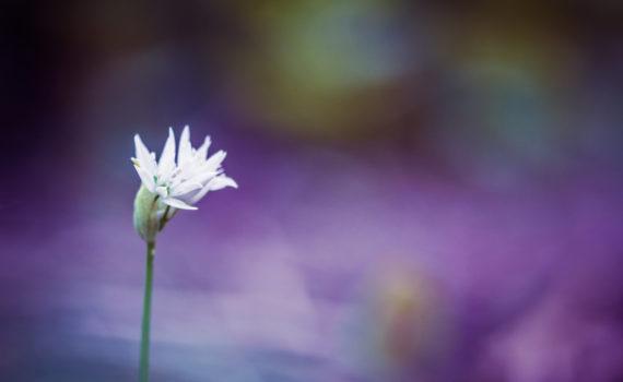 Ail des ours / Allium ursinum