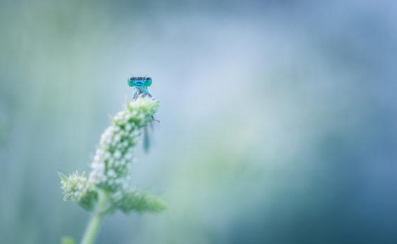 Ischnure élégante / Ischnura elegans