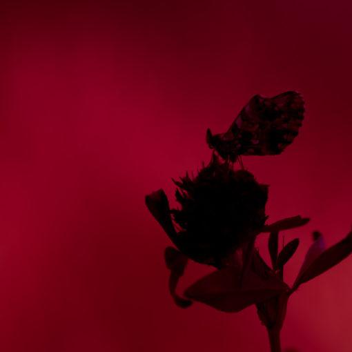 Petite violette / Boloria dia