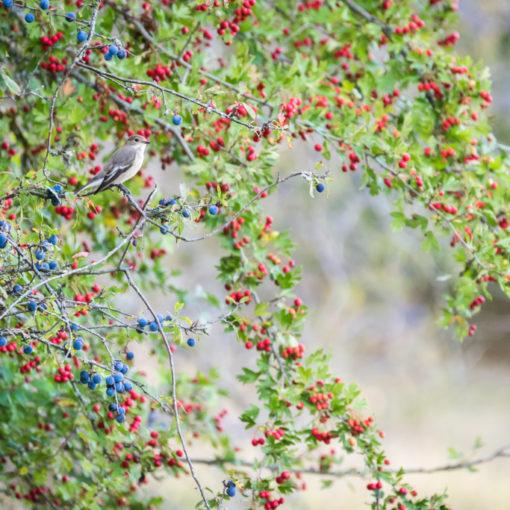 Gobemouche noir / Ficedula hypoleuca