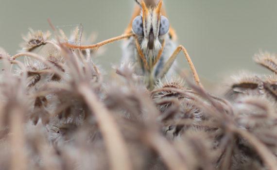 Mélitée du plantain / Melitaea cinxia