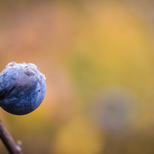 Epine noire / Prunus spinosa / Prunellier
