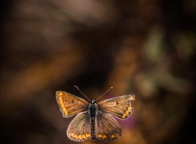 Collier de corail / Aricia agestis