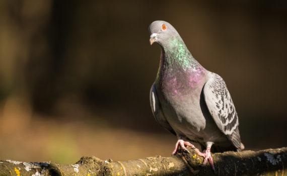 Pigeon biset / Columba livia