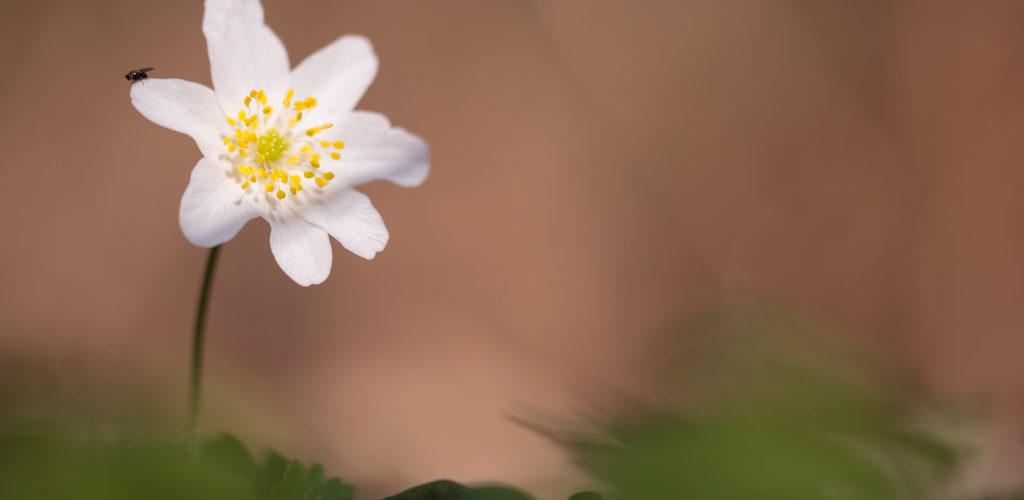 Anémone des bois / Anemone nemorosa