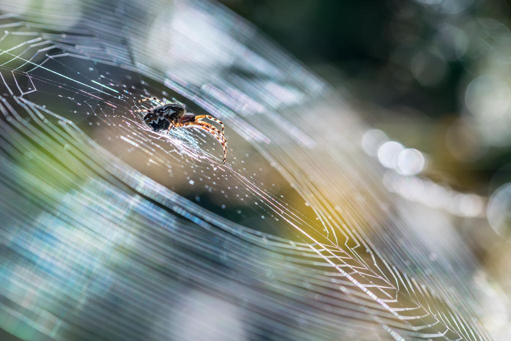 Epeire diadème / Araneus diadematus
