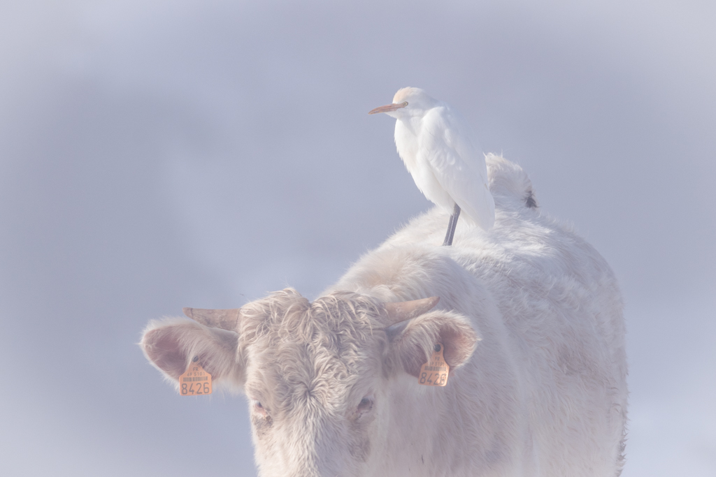 Héron gardeboeufs / Bubulcus ibis