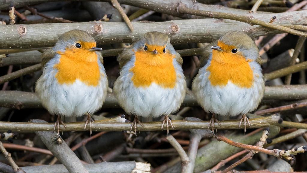 Rougegorge familier / Erithacus rubecula