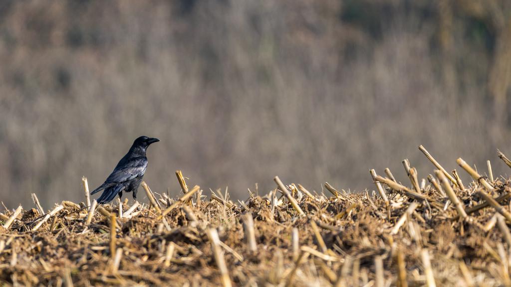 Corneille noire / Corvus corone