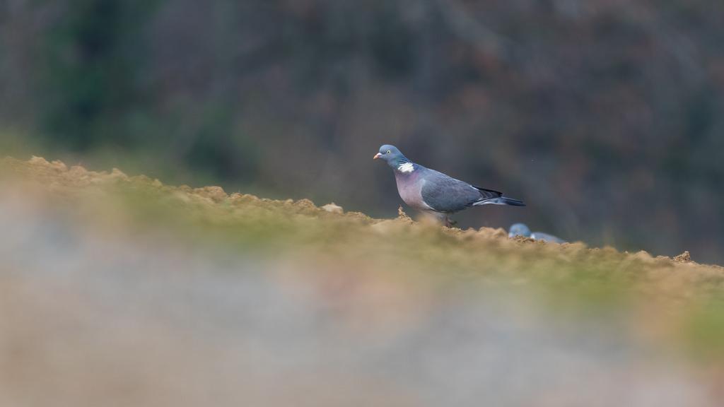 Pigeon ramier / Columba palumbus