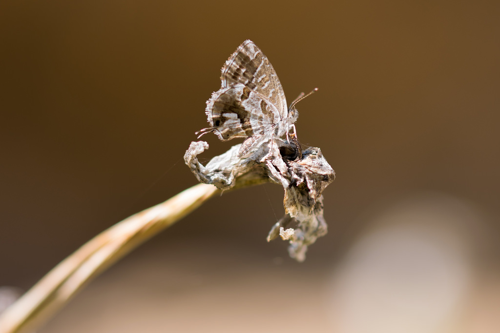 Brun du pélargonium / Lycène du géranium / Porte-queue de Marshall / Cacyreus marshalli
