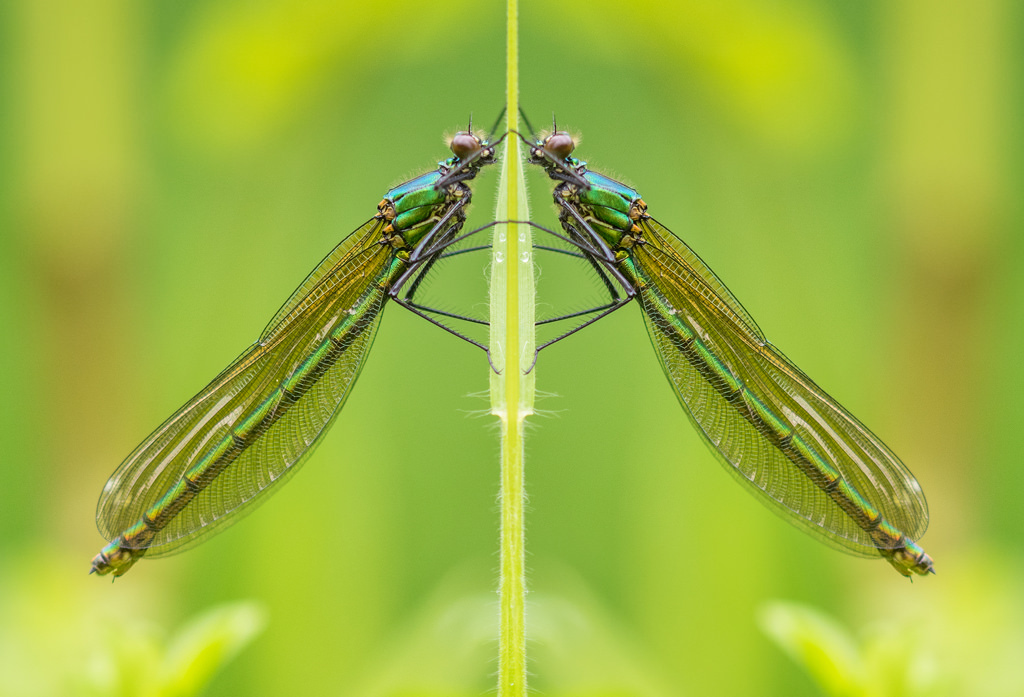 Caloptéryx éclatant / Calopetryx splendens