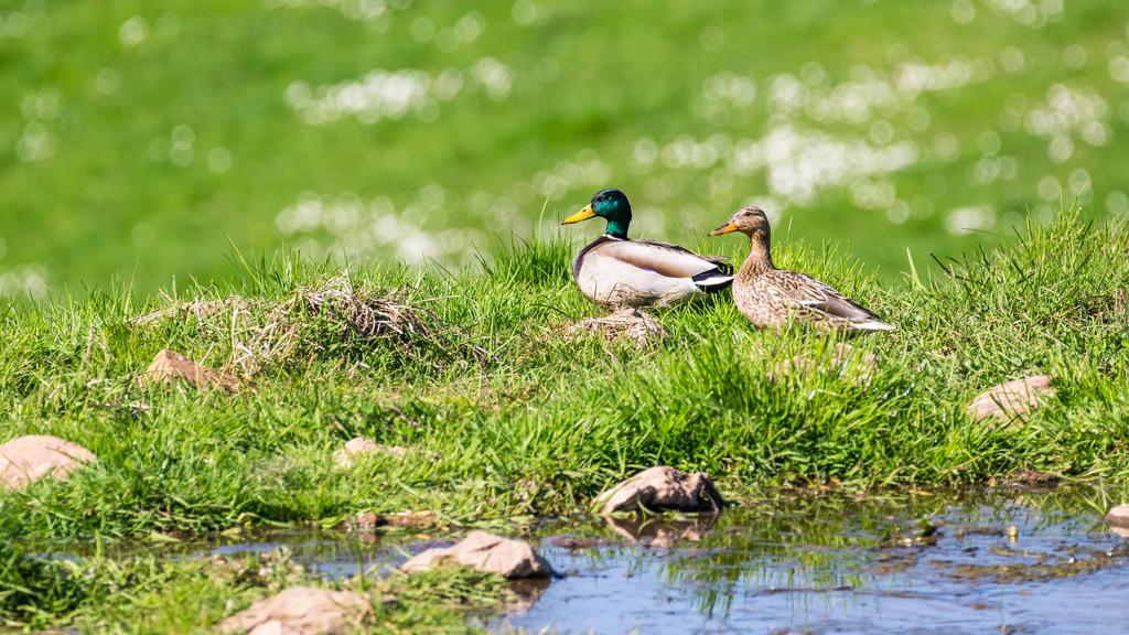 Canard colvert / Anas platyrhynchos