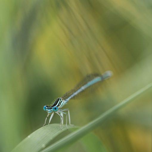 Pennipate bleuâtre / Platycnemis pennipes