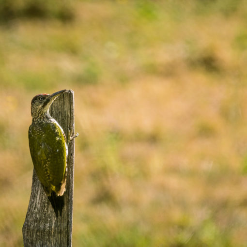 Pic vert / Picus viridis