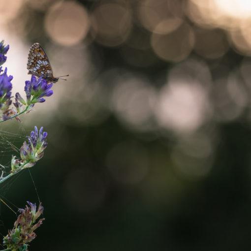Mélitée des centaurées / Melitaea phoebe