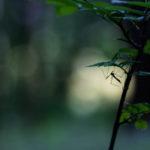 Tipule / Tipula