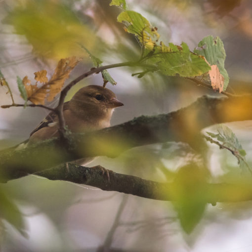 Pinson des arbres / Fringilla coelebs