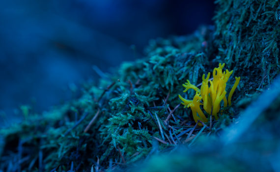 Clavaire dorée / Ramaria aurantiaca